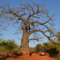A baobab tree stays leafless for the larger part of the year (Photo: Patrick Maundu)