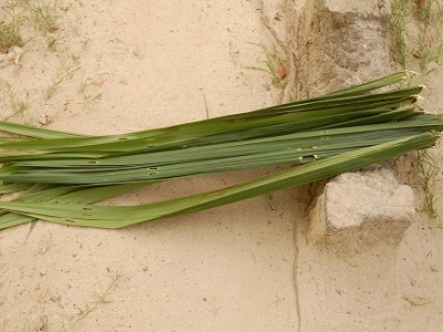 Palm fronds for making brooms (Photo: Julius Ivwoba Arerierian)