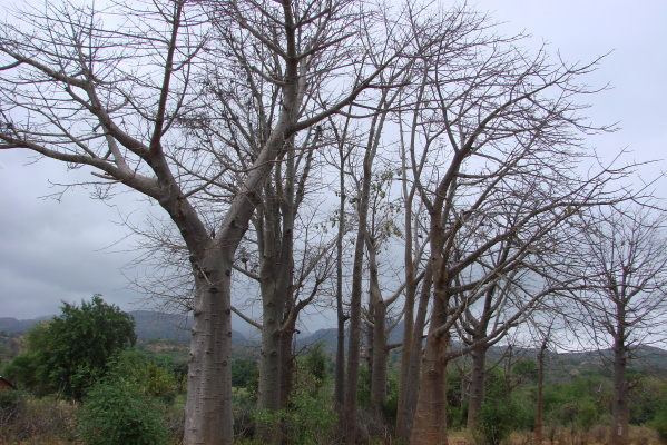 A cluster of baobab trees is a sign that there used to be a settlement at the site, Kitui county (Photo: Patrick Maundu)