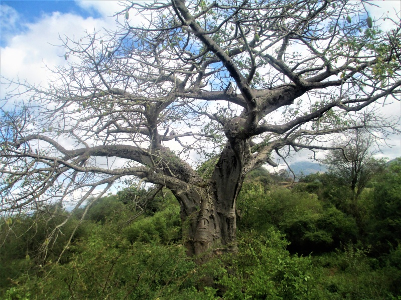 A baobab tree in Kitui county (Photo: Kimanzi Ndunda)